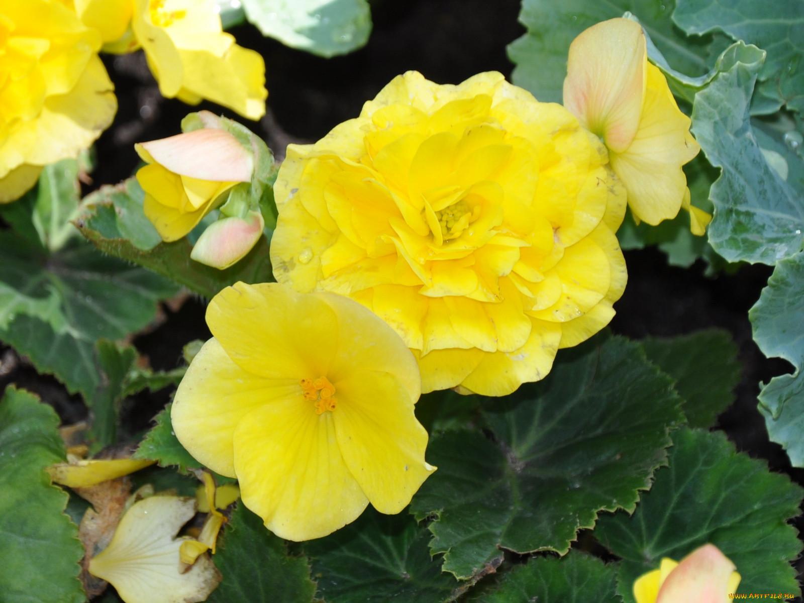 Цветы бегония картинки 7